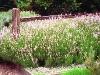 English Lavender 'Jean Davis', (Lavandula angustifolia 'Jean Davis').