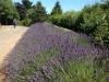ed-lavender