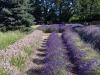 Lavender Field 2015