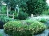 Compact Green Santolina (Santolina ericoides) in bloom.