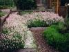 English Lavender, Pink (Lavandula angustifolia 'Jean Davis') with Blue Star Creeper (Laurentia fluviatilis).