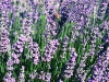 Close up of Lavandin flowers (Lavandula x intermedia 'Provence').