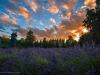 lavender-sunset-1